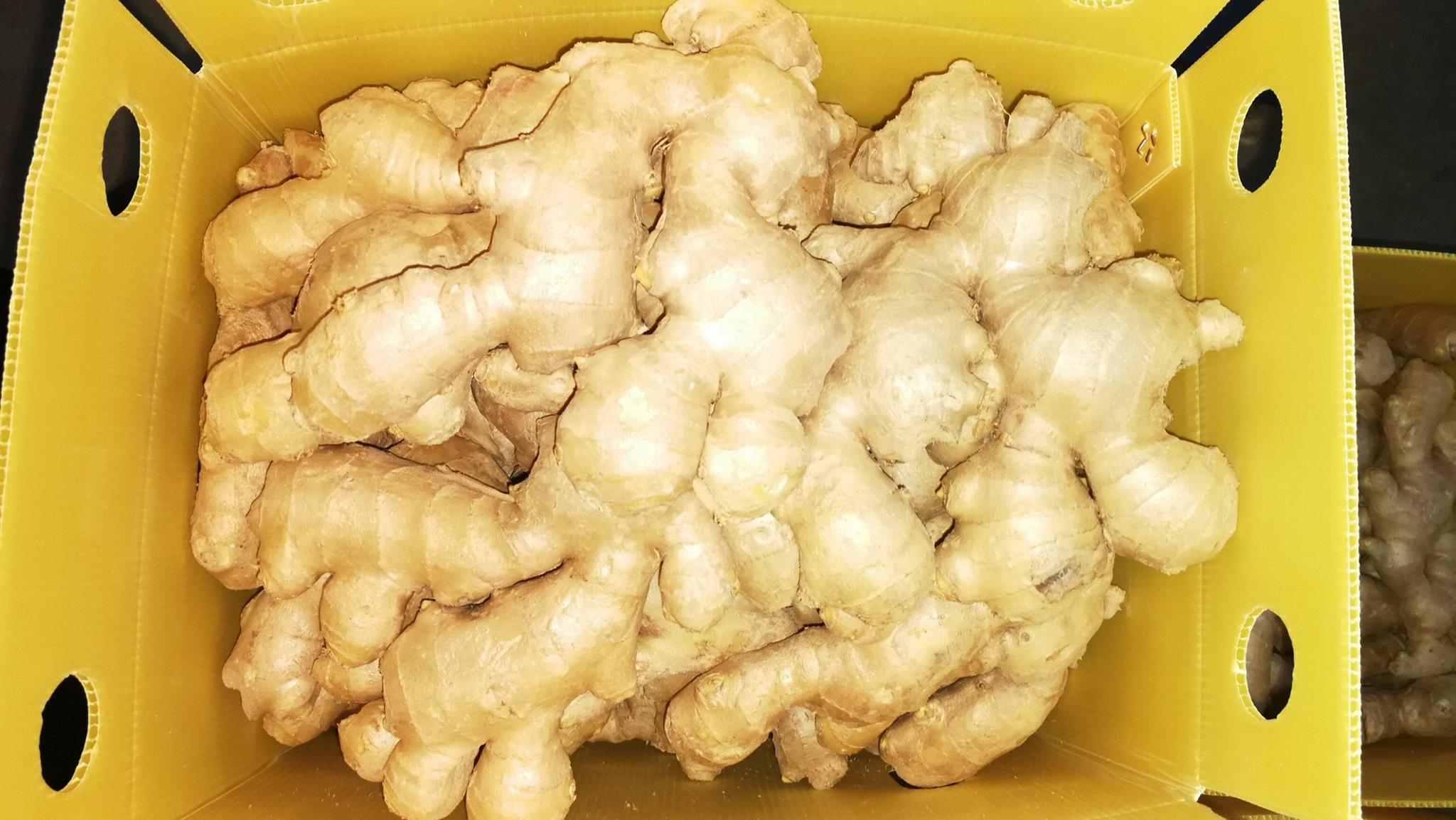 2021 Air dried fresh ginger 10