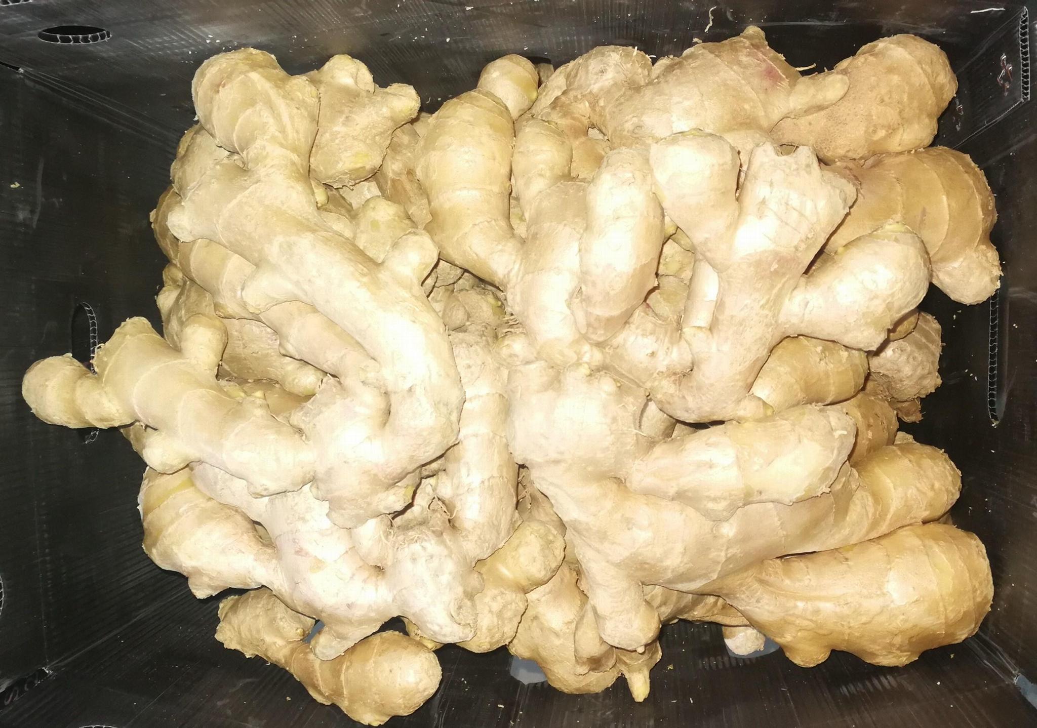 2021 new crop ginger