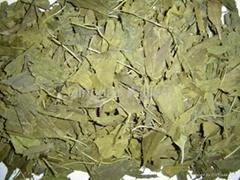 Ginkgo Biloba Leaves P.E.