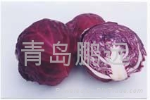 cabbage red color