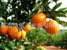 贛南臍橙 2