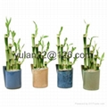 lucky bamboo sets