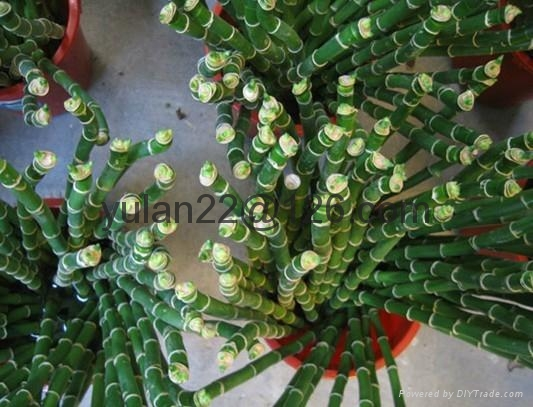 Tufted lucky bamboo 1