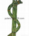 $ SHAPE LUCKY BAMBOO