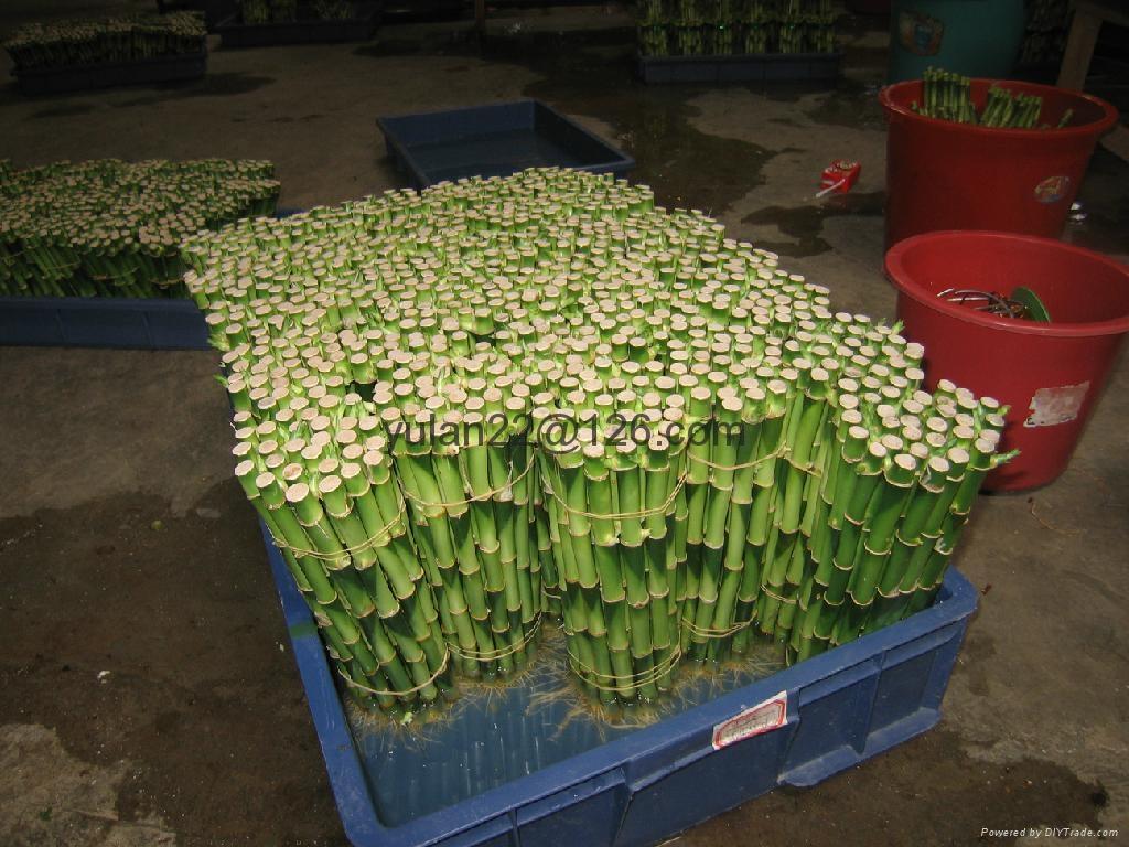 Straight Lucky Bamboo Dracaena Sanderiana China