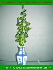 Spiral lucky bamboo