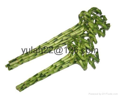 Spiral lucky bamboo 2