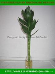 Lotus Lucky bamboo