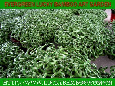Spiral lucky bamboo 3