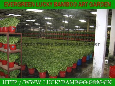 Spiral lucky bamboo 4