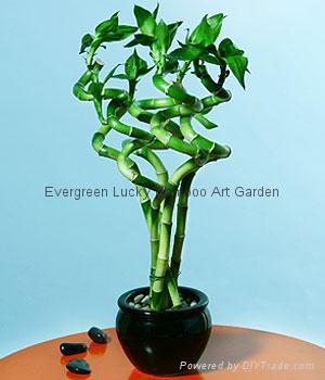 Spiral lucky bamboo 5