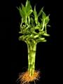 Straight lucky bamboo(Dracaena