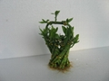 Straight lucky bamboo(Dracaena Sanderiana) 2
