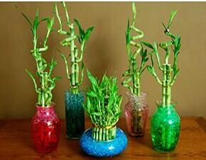 Straight lucky bamboo(Dracaena Sanderiana) 1