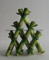 Straight lucky bamboo(Dracaena Sanderiana) 3