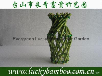 Vase Lucky bamboo(Dracaena Sanderiana) 1