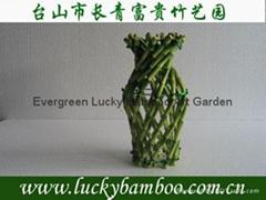 Vase Lucky bamboo(Dracaena Sanderiana)
