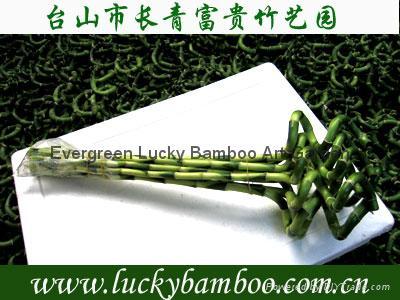 Vase Lucky bamboo(Dracaena Sanderiana) 2