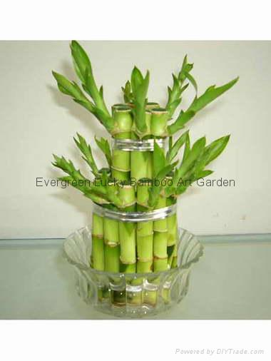 Vase Lucky bamboo(Dracaena Sanderiana) 4