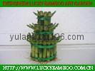 Tower lucky bamboo(Dracaena Sanderiana)