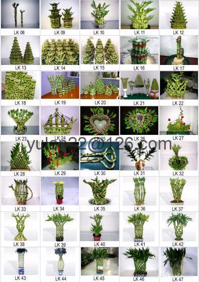 Lucky Bamboo Dracaena Sanderiana 2