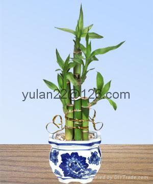 Lucky bamboo(Dracaena Sanderiana) 3