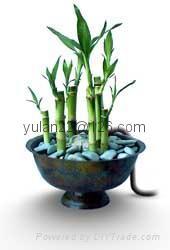 Lucky bamboo(Dracaena Sanderiana) 5
