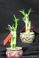 Straight lucky bamboo(Dracaena Sanderiana) 4