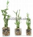 Straight lucky bamboo(Dracaena Sanderiana) 5