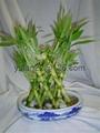 Tower lucky bamboo(Dracaena Sanderiana) 4