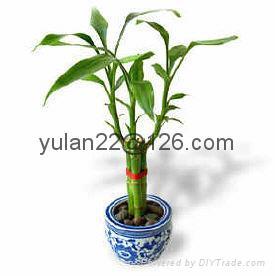 Vase Lucky bamboo(Dracaena Sanderiana) 5