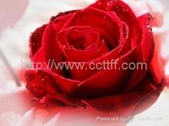 Rose Flower Lotion  skincare cosmetics