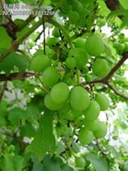 葡萄籽原花青素