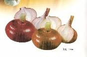 红洋葱Red Onion