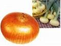 黃洋蔥Yellow Onion