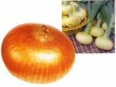 黄洋葱Yellow Onion