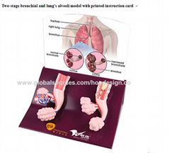 F-194Two-stage bronchial and lung's a  eoli model with printed instruction card