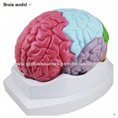P-1368 Brain model