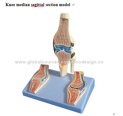 P-1287 Knee median sagittal section model