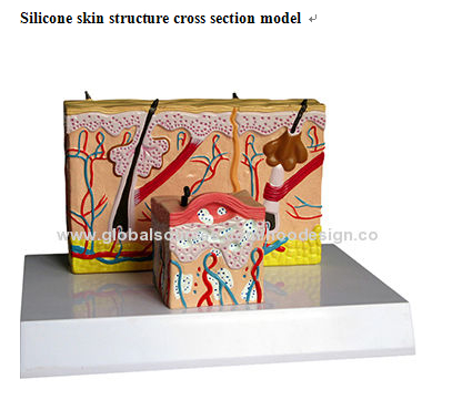 P-1299 Silicone skin structure cross section model