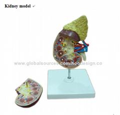 P-1164 Kidney model