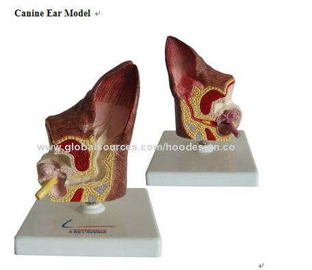 P-1326 Canine Ear Model