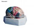 P-1366 Brain model