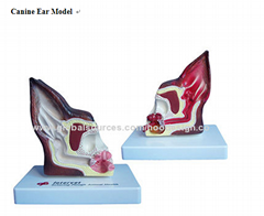P-1325 Canine Ear Model