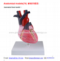 P-1120 Anatomical heart model