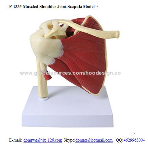 P-1333 Muscled Shoulder Joint Scapula Model