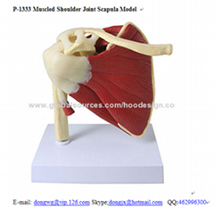 P-1333 Muscled Shoulder Joint Scapula Model