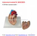 P-1205 Heart anatomical models