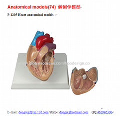 P-1205 Heart anatomical models