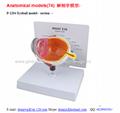 P-1204 Eyeball model - section